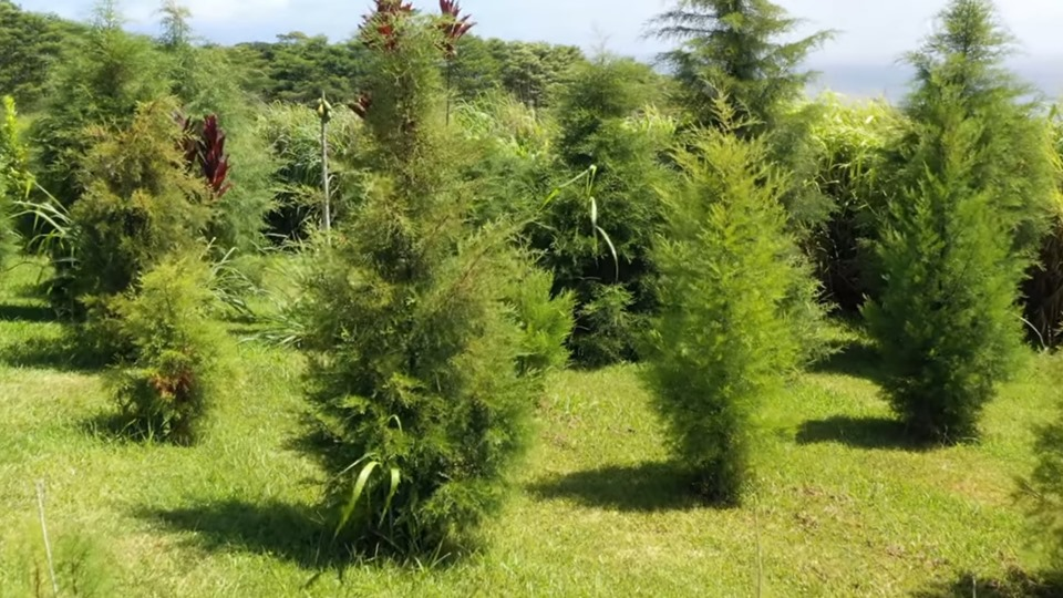 4 Foot Christmas Tree.4 Foot Hawaii Christmas Tree